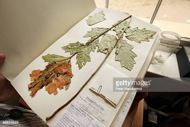 A preserved specimen of an Ethiopian endemic Acanthus plant is displayed in the Herbarium at The Royal Botanic Gardens Kew on April 9 2009 in London