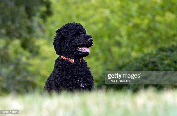 President Barack Obama's family dog Sunny, a Portuguese water dog who arrived at the White House on August 19, 2013 and was born in June 2013, is...