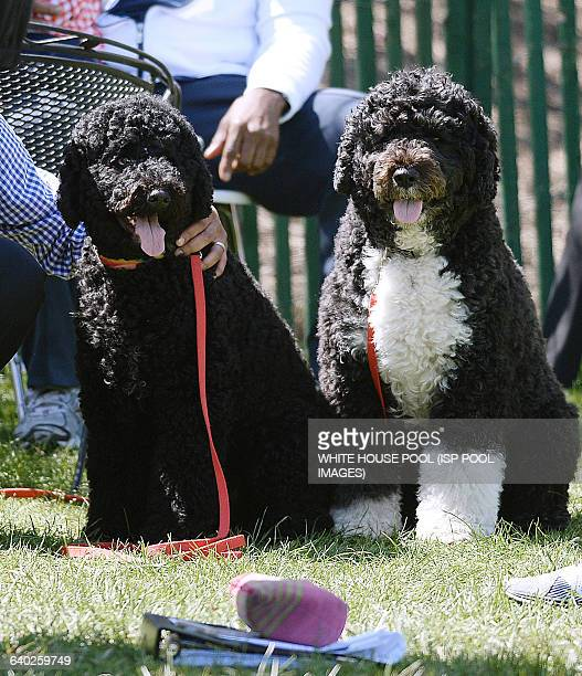 Presidential dogs Sunny and Bo during the annual White House Easter Egg Roll on the South Lawn of the White House April 21 2014 in Washington DC...