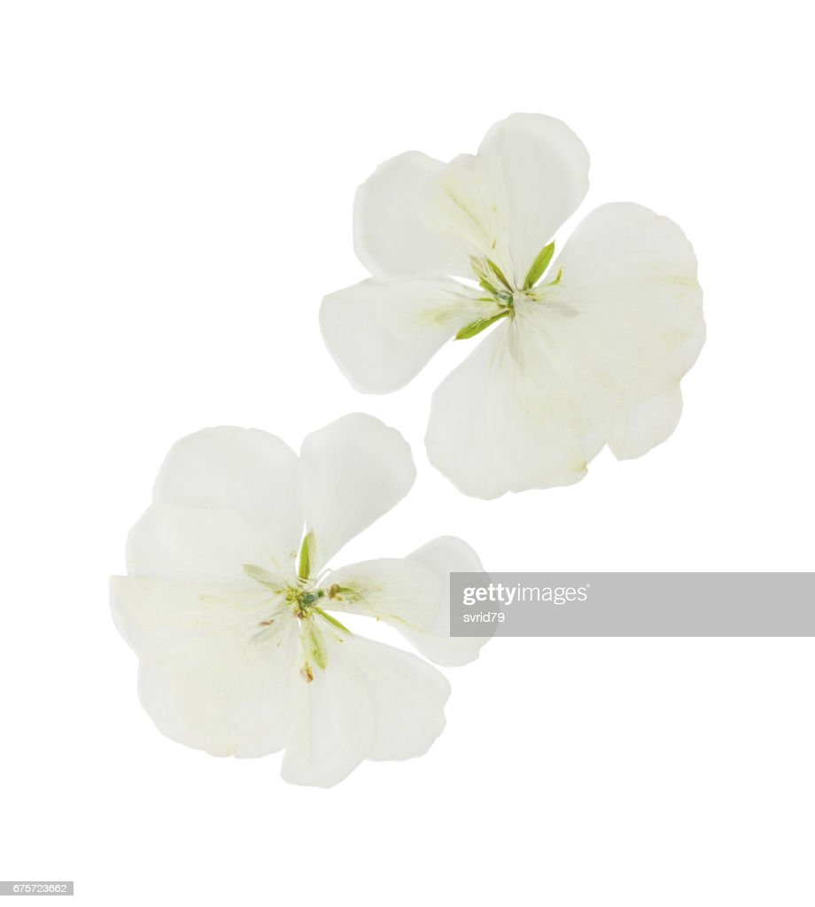 Pressed and dried white flowers geranium isolated stock photo pressed and dried white flowers geranium pelargonium isolated mightylinksfo
