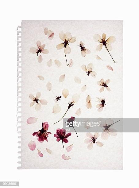 pressed flower of cherry blossom on paper - flach stock-fotos und bilder