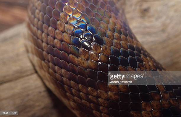The shiny reflective scales of a Spotted Python's skin.