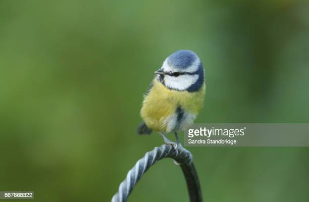 a pretty blue tit (cyanistes caeruleus) perched on a wire post. - hertford hertfordshire stockfoto's en -beelden