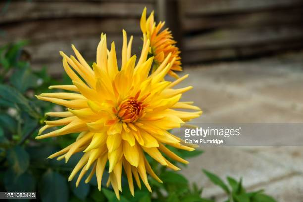 pretty bright yellow spikey dahlia growing in a uk garden - newbury england stock pictures, royalty-free photos & images