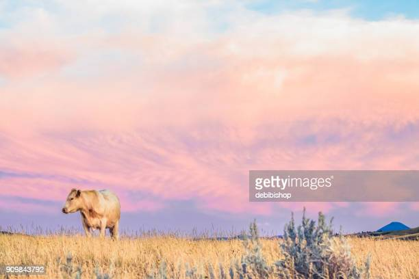 Pretty Charolais cow standing in tall golden grass under a pastel pink & purple sky