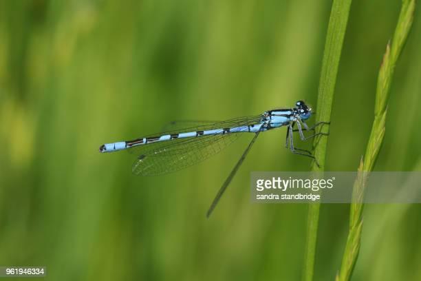 A pretty Common Blue Damselfly (Enallagma cyathigerum) perching on a blade of grass.