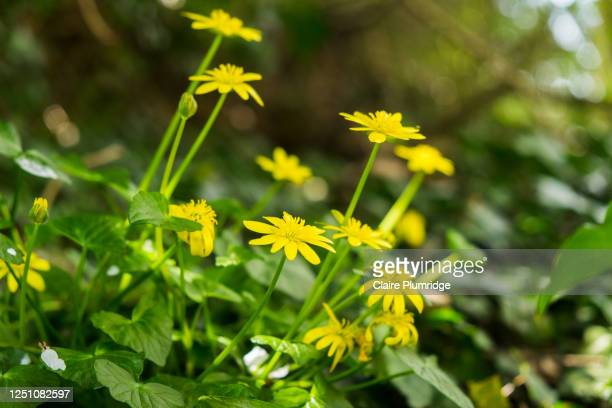 pretty daisy like yellow wild flowers growing in the countryside, taken at a low angle - newbury england stock pictures, royalty-free photos & images