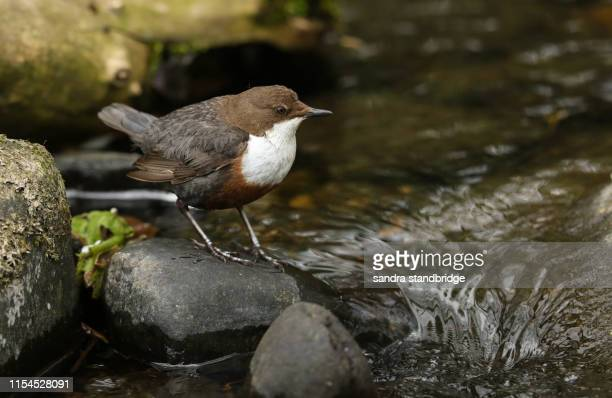 a pretty dipper (cinclus cinclus) standing on a rock at the edge of a fast flowing river. it has been diving under the water foraging for food. - süßwasser stock-fotos und bilder
