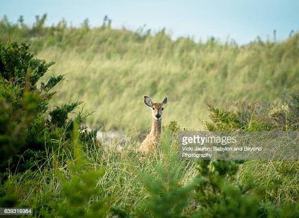 pretty doe looking out from the bushes at fire island national seashore - biche photos et images de collection