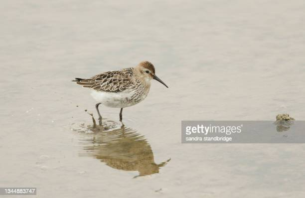 a pretty dunlin, calidris alpina, hunting for food in the mud at the edge of a freshwater lake, on the norfolk, uk, coast. - waders stock pictures, royalty-free photos & images