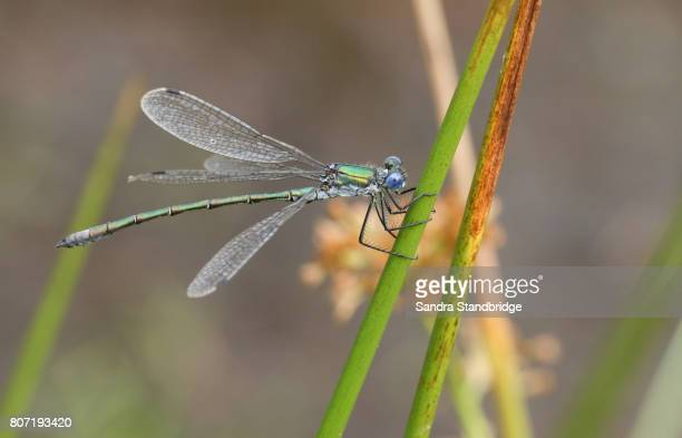A pretty Emerald Damselfly (Lestes sponsa) perched on a reed.