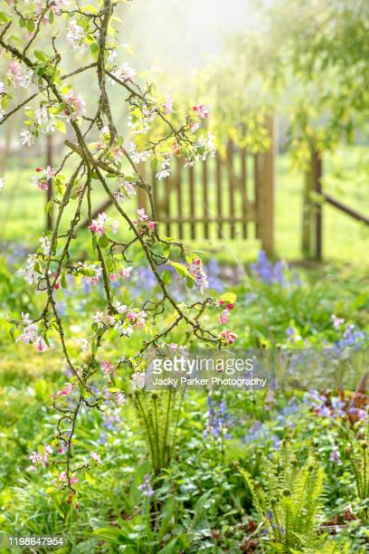 pretty english spring garden with rustic wooden gate, apple blossom flowers and bluebells - blossom stock pictures, royalty-free photos & images