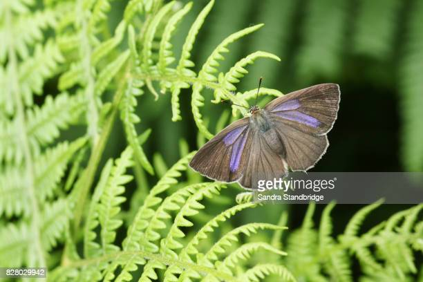 a pretty female purple hairstreak butterfly (favonius quercus) perched on bracken. - hertford hertfordshire stock pictures, royalty-free photos & images