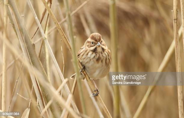 A pretty female Reed Bunting  (Emberiza schoeniclus) perched on a twig in the reed bed.