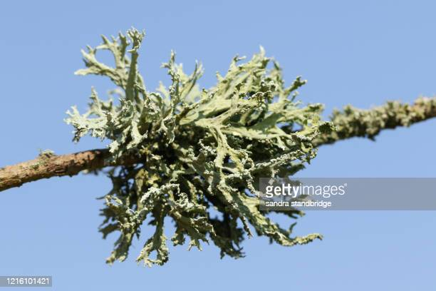 pretty green lichen growing on a branch of a tree in the uk in spring. - parasite stock pictures, royalty-free photos & images