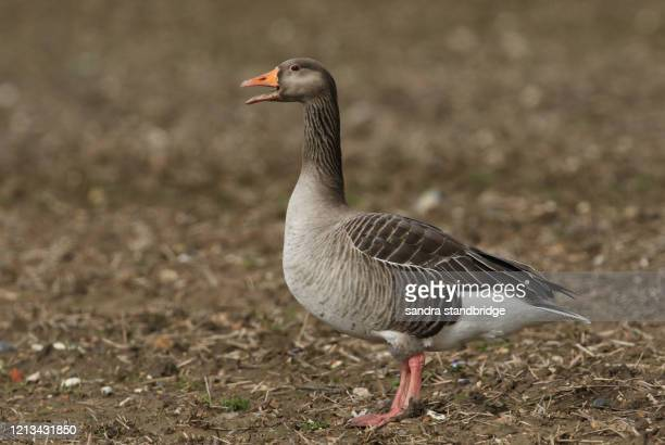 a pretty greylag goose, anser anser, standing in a field calling. - グレイグース ストックフォトと画像