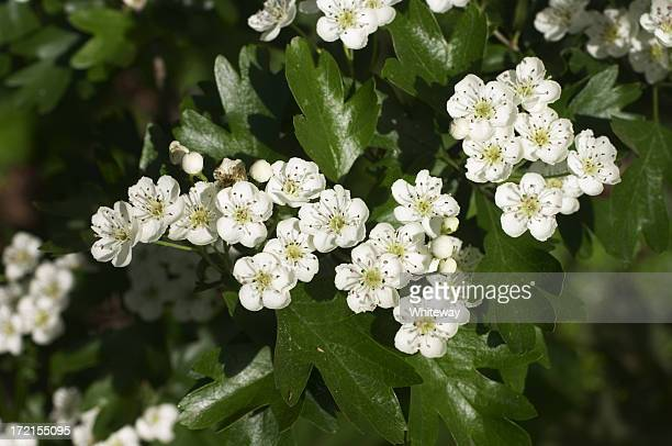 the coming of may blossom - may flowers stock pictures, royalty-free photos & images