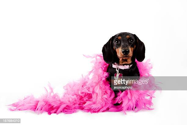 Pretty in Pink Dachshund. Dog Humor Dress Up