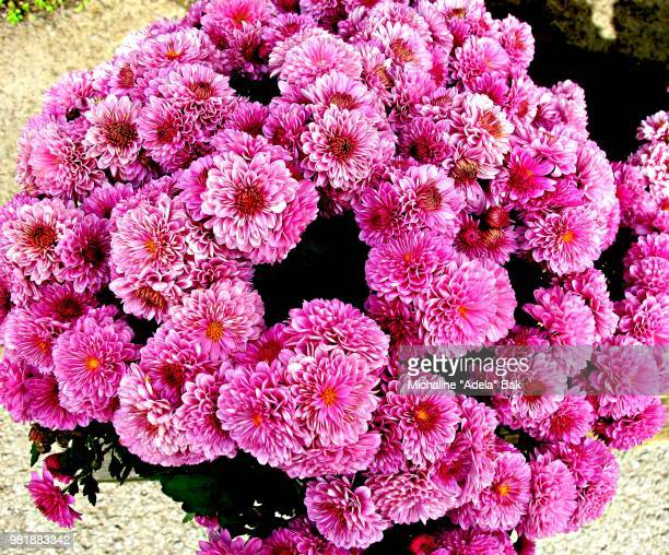 Pretty In Pink Mums