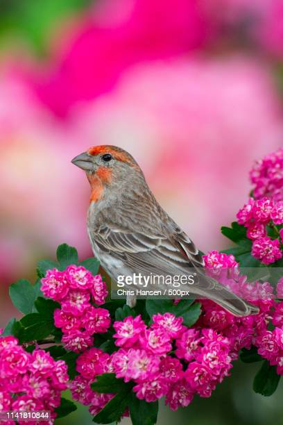 pretty in pink - house finch stock pictures, royalty-free photos & images