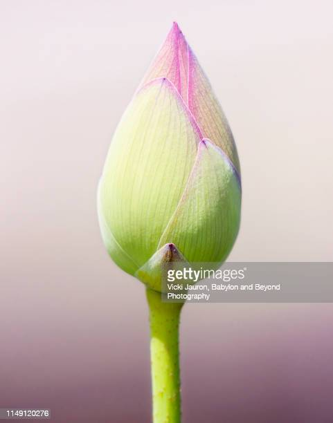 pretty in pink single lotus bud standing against pink gradient - bocciolo foto e immagini stock
