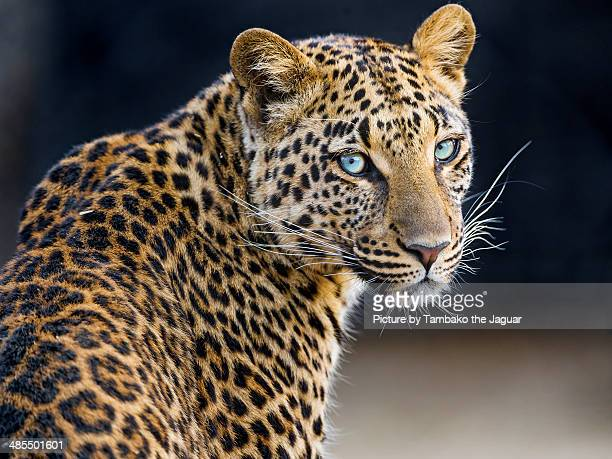 Pretty leopardess