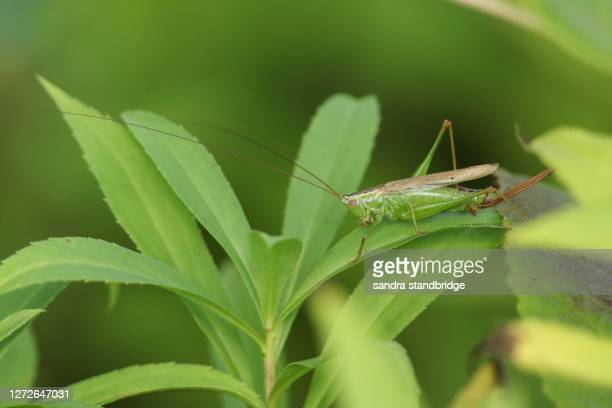 a pretty long-winged conehead cricket, conocephalus discolor,  perched on a plant. - england cricket stock pictures, royalty-free photos & images