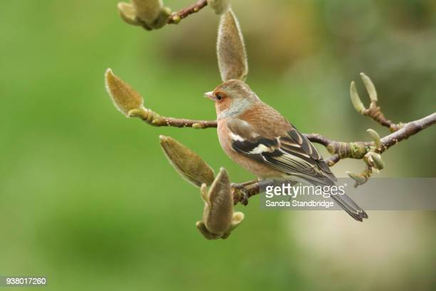 A pretty male Chaffinch, Fringilla coelebs, perched on the branch of a Magnolia tree.