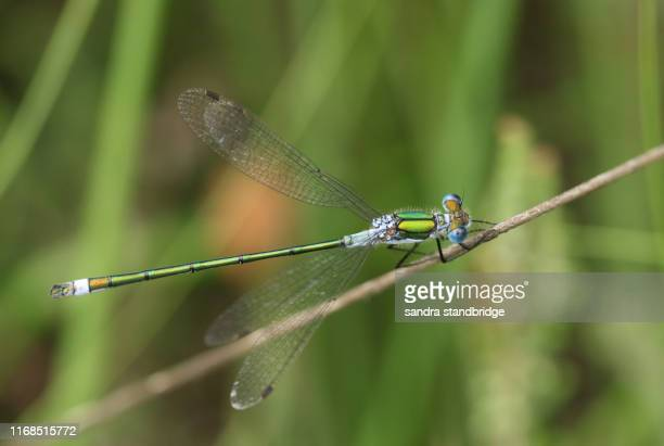 a pretty male emerald damselfly (lestes sponsa) perching on a grass stem at the edge of the water. - emerald green stock pictures, royalty-free photos & images