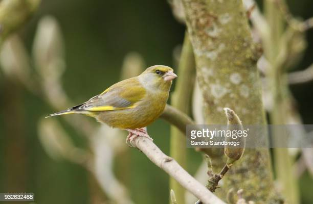 A pretty male Greenfinch (Carduelis chloris) perched on a magnolia tree.