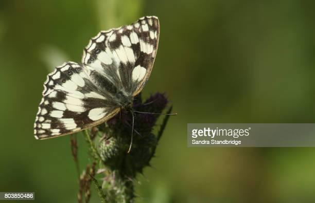 a pretty marbled white butterfly (melanargia galathea) nectaring on a thistle. - hertford hertfordshire stockfoto's en -beelden
