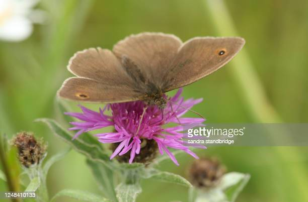 a pretty meadow brown butterfly (maniola jurtina) nectaring on a knapweed flower. - brown stock pictures, royalty-free photos & images