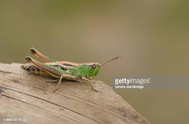 a pretty meadow grasshopper (chorthippus parallelus) perching on a dead branch. - cavalletta foto e immagini stock