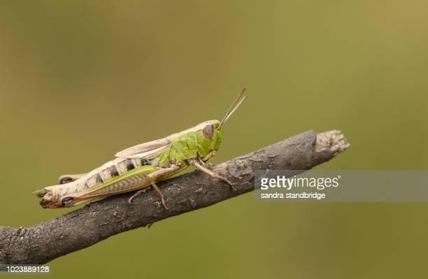 a pretty meadow grasshopper (chorthippus parallelus) perching on a twig. - cavalletta foto e immagini stock