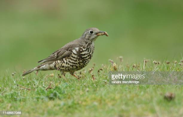 a pretty mistle thrush (turdus viscivorus) hunting for food in a meadow  to feed its babies. it has an insect in its beak. - tordo bottaccio foto e immagini stock