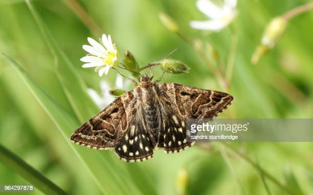 a pretty mother shipton moth (euclidia mi) perching on a stitchwort wildflower. - papillon de nuit photos et images de collection