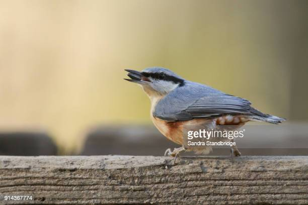 A pretty Nuthatch (Sitta europaea) perched on wood with a sunflower seed in its beak.