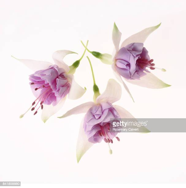 Pretty pink and white fuchsia flowers on white square.