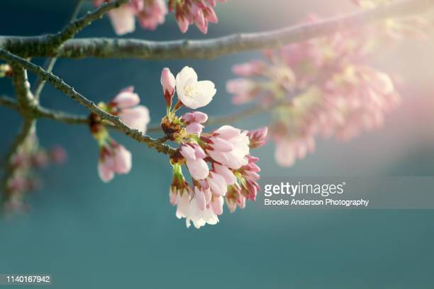 pretty pink cherry blossoms with teal background - 果樹の花 ストックフォトと画像