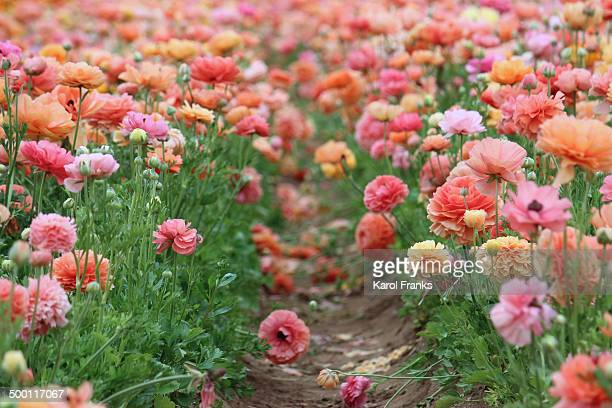 pretty pink flowers in field - carlsbad california stock pictures, royalty-free photos & images