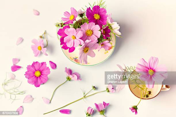 pretty pink flowers - cosmos flower stock photos and pictures