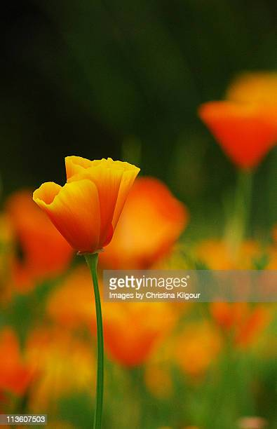 pretty poppy - california golden poppy stock pictures, royalty-free photos & images