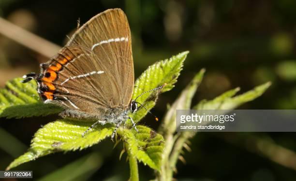 a pretty rare white-letter hairstreak butterfly (satyrium w-album) perching on a bramble leaf. - hertford hertfordshire stockfoto's en -beelden