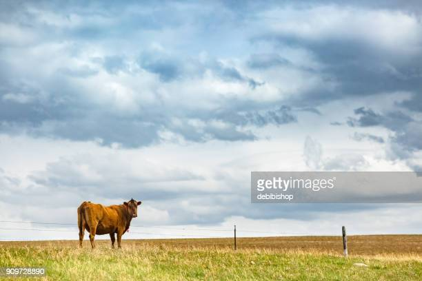 Pretty red cow standing on Montana prairie grass near a fenced field and under a cloudy sky