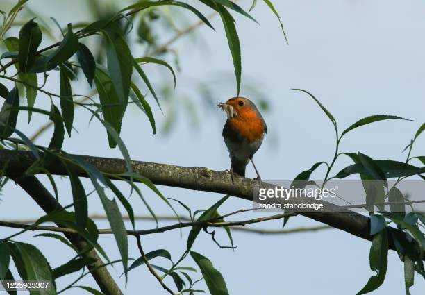 a pretty robin, redbreast, erithacus rubecula, perching on a branch of a willow tree. it has a beak full of insects to feed its babies in a nest near by in spring. - branch stock pictures, royalty-free photos & images