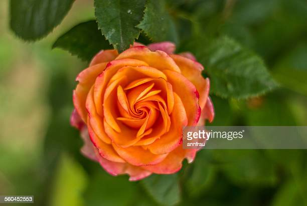 pretty rose - annfrau stock pictures, royalty-free photos & images