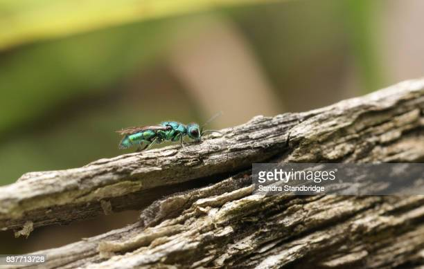 a pretty ruby- tailed wasp (trichrysis cyanea). - hertford hertfordshire stock pictures, royalty-free photos & images