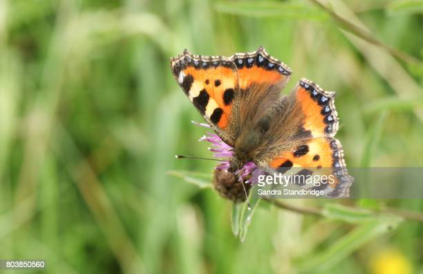 a pretty small tortoiseshell butterfly (aglais urticae) nectaring on a flower. - hertford hertfordshire stock pictures, royalty-free photos & images