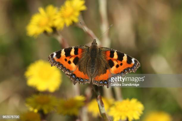 a pretty small tortoiseshell butterfly (aglais urticae) nectaring on a yellow  coltsfoot flower (tussilago farfara). - coltsfoot stock photos and pictures