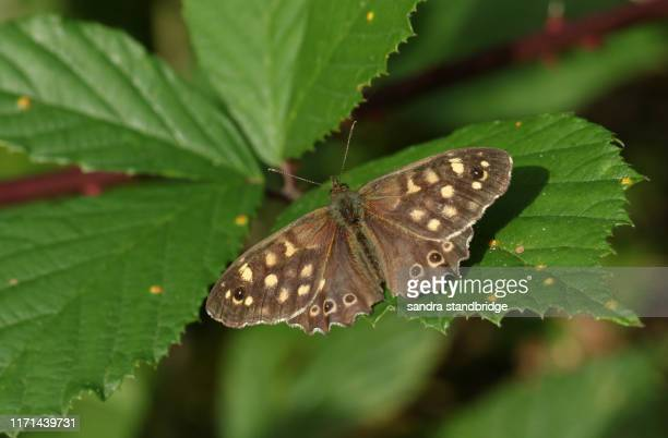 a pretty speckled wood butterfly, pararge aegeria, perching on a leaf in a woodland glade in the uk. - woodland stock pictures, royalty-free photos & images